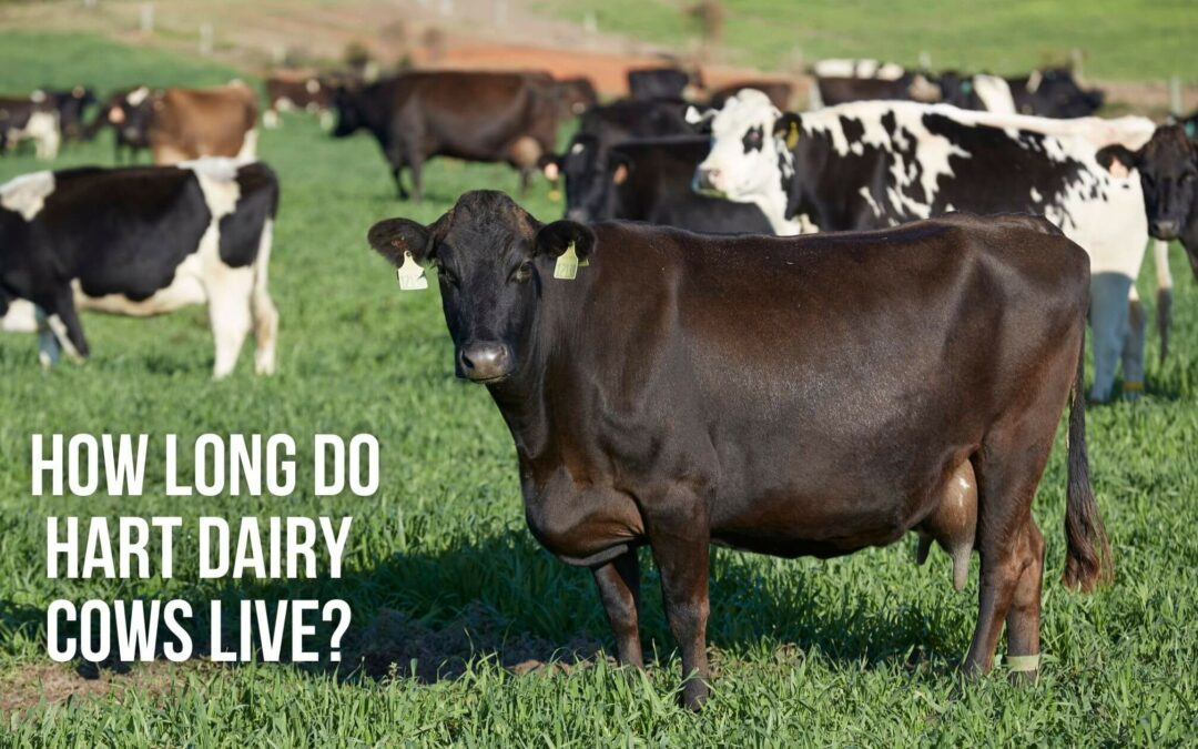How Long Do Hart Dairy Cows Live?